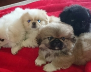 5 Pekingese puppies for sale