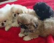 P.Pekingese puppies for sale