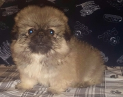 7Pekingese puppies for sale