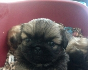 9 Pekingese puppies for sale