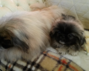 Pretty Pekingese puppies for sale