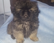 A.Pekingese puppies for sale