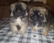 TY.Pekingese puppies for sale