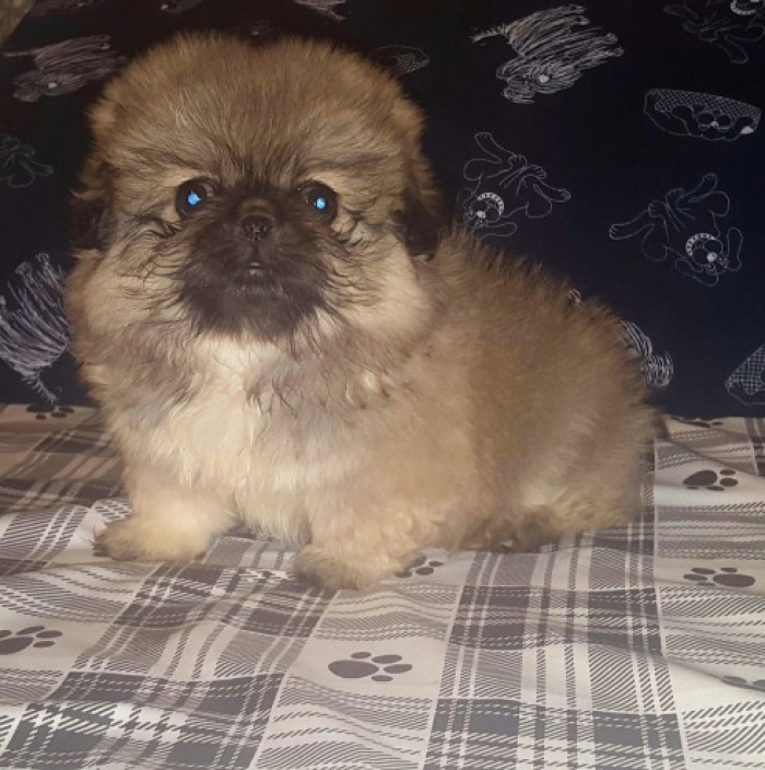 Ag pekingese Puppies for Sale | Handmade Michigan