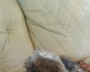 4Pekingese puppies for sale NOW