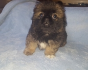 GF.Pekingese puppies for sale