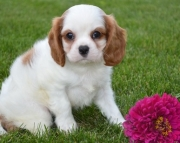 HGD Cavalier King Charles puppies