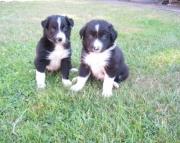 FNSU Border Collie puppies