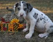 KSCH Great Dane puppies