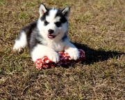 Home Raise Siberian husky puppies