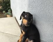 JDFEF Doberman puppies