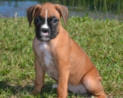 Great Boxer puppies ready