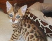 VF.Bengal kitten for sale