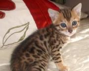 Amazing Bengal kitten