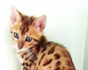 a Bengal kitten for sale now