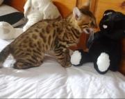 S Bengal kitten for sale