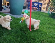 HSVBC Golden Retriever puppies