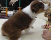 AUSTRALIAN  SHEPHERD PUPPIES READY NOW