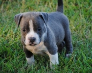 American Pit Bull Terrier Puppies for caring home