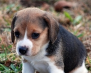 Cute Beagle Puppies Ready Now