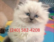 clever Himalayan Kittens