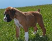 OJKF Boxer puppies 505x652x7165