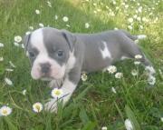 JKAFN English Bulldog puppies 505x652x7165