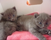 JSFH Russian Blue kittens  505x652x7165