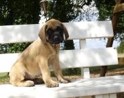 KASD Mastiff puppies 505x652x7165