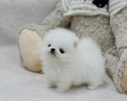 KJSH Pomeranian Puppies 505x652x7165