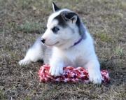 KDSH Siberian Husky puppies  505x652x7165