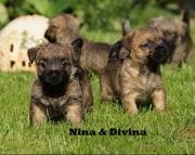 JFEK Cairn Terrier puppies 505x652x7165