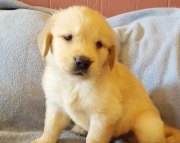JBSH Golden Retriever puppies