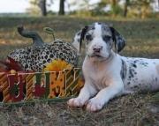 KSJFCS Great Dane puppies  505x652x7165