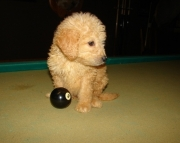 KNS Golden Doodle puppies 505x652x7165