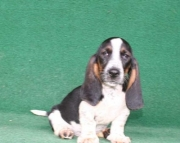 Basset Hounds  puppies for sale