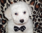 Bichons Frise  puppies for active home