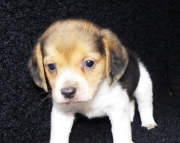 Male And Female Beagle Puppies Ready Now