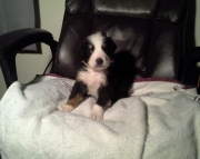 Bernese Mountain Dogs puppies need a new home