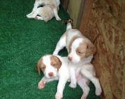 Brittany puppies need a new home