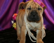Cute Chinese Shar-Pei puppies for sale