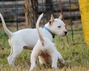 Dogo Argentino puppies for lovely home