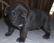 Excellent French Bulldog puppies ready now