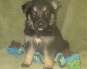Exceptional German Shepherd puppies available