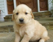Fantastic Golden Retriever puppies for caring home