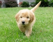 Goldendoodle male and female ready now