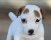Famous Jack Russell Terrier puppies ready to go