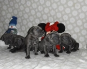 Playfull Italian Cane Corso puppies for caring family