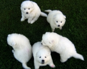 Formidable  Samoyed puppies for caring home