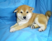 Energetic Shiba Inu puppies need new home